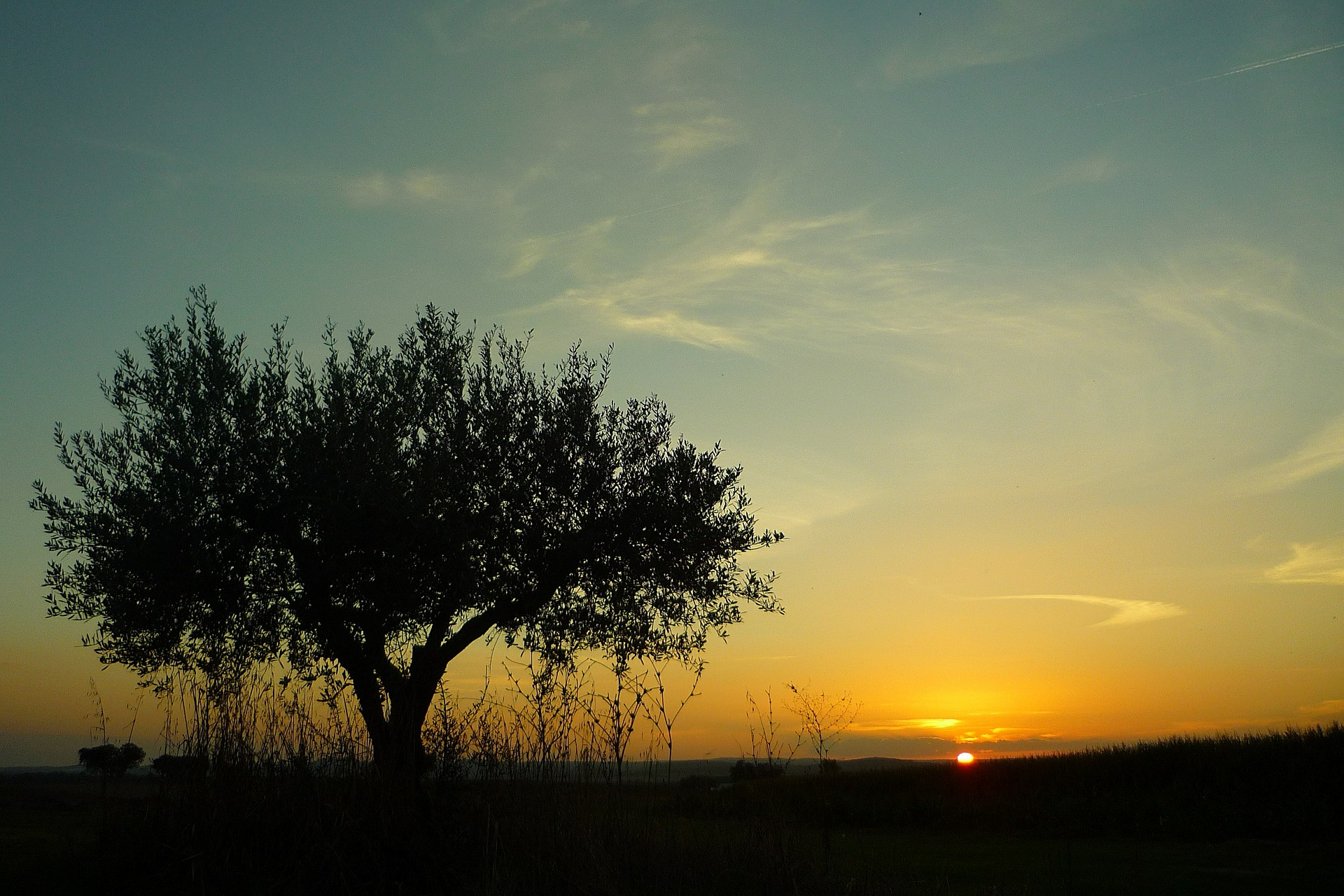 OLIVE POETRY SUNSET ON THE OLIVE GROVE TRADICION CENTENARIA